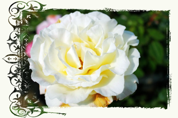 White Rose 2_Mask 1 copy